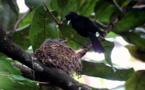 Six oiseaux polynésiens pourraient disparaître dans les cinq ans