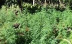 Des plants de paka découverts à Outumaoro et Maupiti