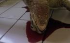 Deux tortues retrouvées mortes en deux jours à Moorea