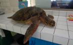 Une troisième tortue braconnée à Moorea