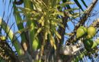 La fleur de coco permet de lutter contre l'impuissance sexuelle