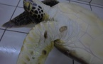 Une nouvelle tortue blessée à Moorea