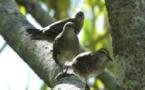 100 millions de francs pour dératiser six îles de Polynésie et sauver les oiseaux