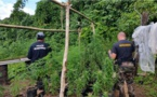 520 pieds de paka arrachés à Raiatea