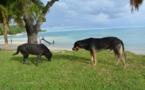 Bora Bora s'attaque aux chiens errants
