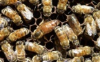 L'importation de miel de nouveau autorisée en Polynésie