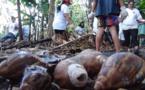 "Ramassage d'escargots géants africains appelés ""Lissachatina Fulica"""