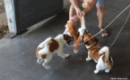 Deux chiens néo-zélandais pour sauver Rimatara et Ua Huka du rat noir