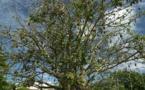 Carnet de voyage aux Marquises: Le baobab de Atuona abattu