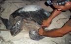 Début de la saison de la ponte chez les tortues vertes