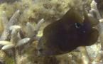 Mercredi soutenance d'une thèse à l'UPF sur la lutte contre le poisson jardinier