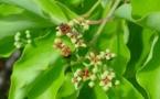 Le Santal, arbre endémique de Polynésie Française
