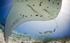 L'Observatoire des requins de Polynésie aux côtés de Manta trust