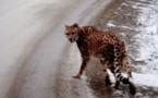 Un guépard avec un foulard égaré dans la neige de l'Ouest canadien