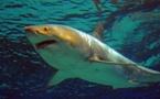 Un grand requin blanc meurt après quelques jours dans un aquarium au Japon