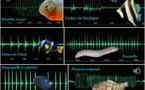 """Comment les poissons """"parlent"""" entre eux"""
