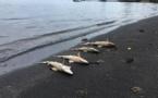 Des petits requins retrouvés morts en bord de mer à Punaauia