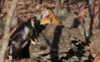 Russie: le tigre Amour s'est fâché avec le bouc Timour (vidéo)