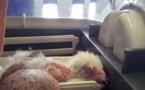 Chili : un rare faucon albinos sauvé d'un trafic d'œufs destiné à Dubaï
