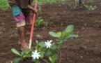 Le laboratoire de cosmétologie de Papara a sa propre plantation de Tiare Tahiti