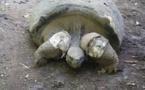 La tortue mâle du Jardin botanique toujours blessée