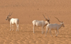 L'addax, une antilope du Sahara, va disparaître à l'état sauvage
