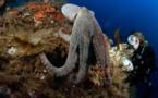 Explosion du nombre de céphalopodes dans les océans depuis 60 ans