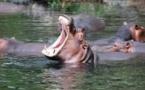 Sénégal: face à des hippopotames tueurs, des pêcheurs désertent le fleuve Gambie