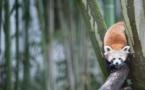 Pandas roux proposent colocation avec loutres: les enclos mixtes gagnent du terrain dans les zoos
