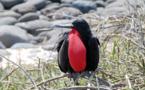 Les frégates du Pacifique peuvent voler des mois sans se poser