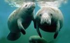 Singapour envoie deux lamantins en Guadeloupe pour le repeuplement de l'espèce