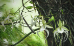 En Floride, des scientifiques veulent sauver les orchidées fantômes