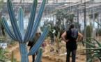 En Bretagne, les cactus s'épanouissent... comme au Mexique