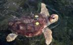 À Fréjus, une tortue marine vient pondre au milieu des touristes