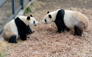 Espoirs de bébé panda géant à Tokyo après un rare accouplement