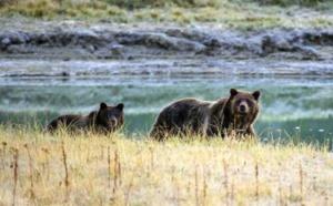 Les ours grizzly de Yellowstone retirés de la liste des animaux protégés