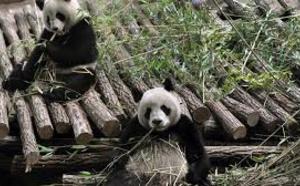 Zoo de Beauval : pour la première fois, une femelle panda en gestation en France