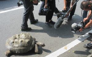 Japon: une tortue géante retrouvée à 140m du zoo après une escapade de deux semaines