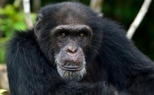 Ponso, dernier survivant de l'île aux chimpanzés en Côte d'Ivoire