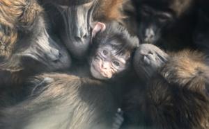 USA: des babouins s'échappent d'un institut de recherche biomédicale