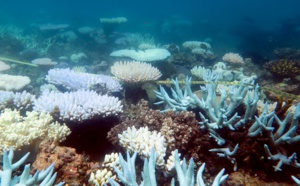 """Hécatombe """"catastrophique"""" de coraux dans la Grande barrière"""
