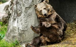 """Kiwi, star du film """"L'Ours"""", et son compagnon vont déménager vers un zoo plus grand"""