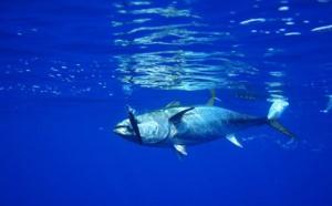 Cicta: les chances de préserver le thon obèse s'amenuisent