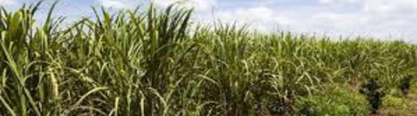 Outre-mer: soutien de 38 millions d'euros à la filière sucrière