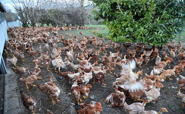 Nord: 10.000 poulets morts, traces d'influenza aviaire détectées