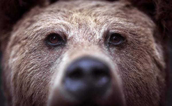 Un adolescent américain tué par un ours durant une course en Alaska