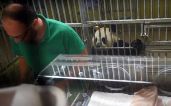 Page enfant : Deux pandas nés en captivité en France