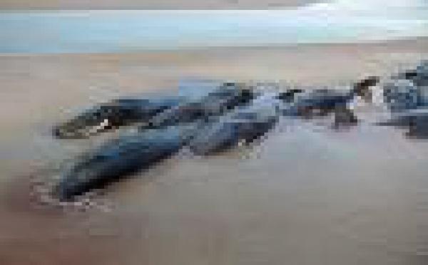 Échouage de douze baleines au Nord de Fidji
