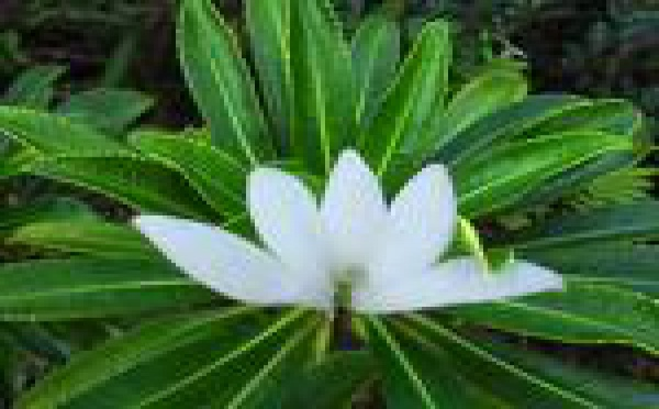 Salon de la Tiare Apetahi: Raiatea fête sa fleur