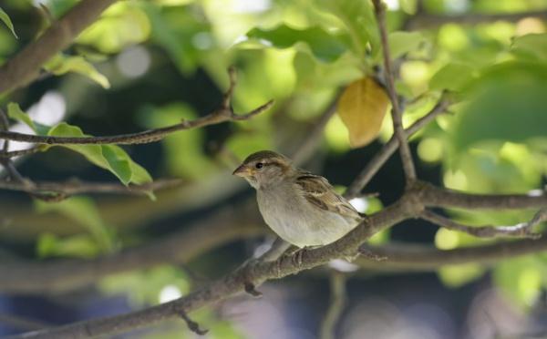 """Les oiseaux des campagnes en déclin """"vertigineux"""", Muséum et CNRS sonnent l'alarme"""